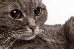 与大圆的眼睛的特写镜头灰色猫 免版税图库摄影