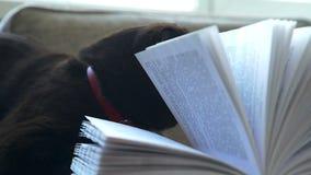 与大圆的黄色眼睛的一只猫通过书的页看 股票视频
