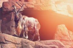 与大垫铁的一只石山羊在一个晴朗的下午的一个岩石站立 免版税库存照片