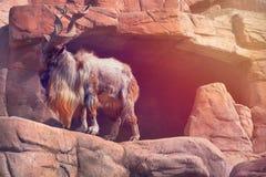 与大垫铁的一只石山羊在一个晴朗的下午的一个岩石站立 库存图片