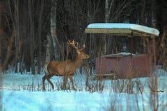 与大垫铁的一头大,成年男性欧洲高尚的鹿在春天在森林沼地观察周围的环境 库存照片