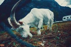 与大垫铁的山羊 库存图片