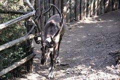 与大垫铁的驯鹿,走在公园 库存照片