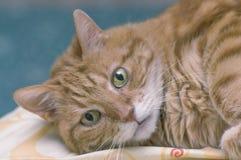 与大嫉妒特写镜头的蓬松红色猫 免版税库存图片