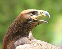 与大开它的额嘴的老鹰 库存图片