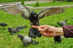 与大开的翼的鸽子 库存照片