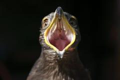 与大开的额嘴的老鹰 免版税库存图片