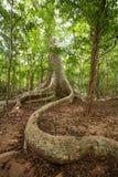 与大根的巨大的树在密林中部  免版税库存照片