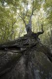 与大根的树在峭壁 免版税库存照片