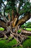 与大根的美丽的树 免版税图库摄影