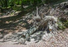 与大根的死的树 免版税库存图片
