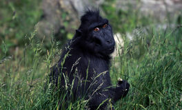 与大棕色眼睛的西部凹地大猩猩 免版税库存图片