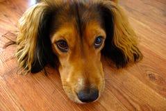 与大棕色眼睛的逗人喜爱的棕色狗 免版税库存照片