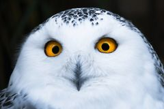与大橙色眼睛画象的明智的看起来的白色多雪的猫头鹰 免版税库存图片