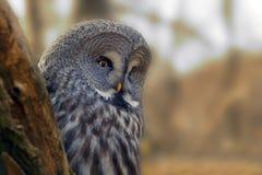 与大橙色眼睛的画象猫头鹰在落叶松属树后 库存图片图片