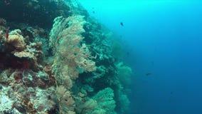 与大海底扇的珊瑚礁 4K 股票录像