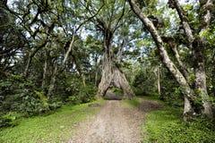 与大漏洞的榕属结构树汽车的 图库摄影