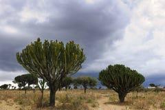 与大烛台树的风景 免版税图库摄影