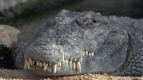 与大牙的鳄鱼 股票视频