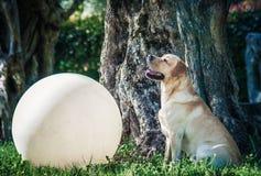 与大白色球的拉布拉多猎犬在庭院里 免版税库存照片