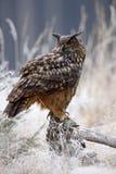 与大白色美丽的猫头鹰的冬天 从多雪的自然的野生生物场面 与猫头鹰的雪风暴 与多雪的大欧亚欧洲产之大雕防止发酵过度 图库摄影