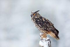 与大白色美丽的猫头鹰的冬天 从多雪的自然的野生生物场面 与猫头鹰的雪风暴 与多雪的大欧亚欧洲产之大雕防止发酵过度 库存照片
