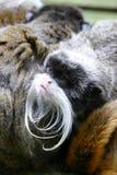 与大白色髭的皇帝绢毛猴 免版税库存照片