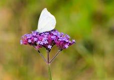 与大白色蝴蝶的马鞭草属植物花 免版税库存图片