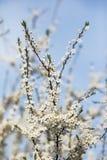 与大白花的扁桃在蓝天下 免版税库存图片