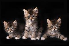 与大眼睛的三可爱的Maincoon小猫 免版税库存图片