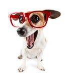 与大眼睛的吃惊的滑稽的狗 免版税库存图片