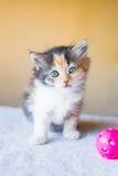 与大眼睛的小三色小猫 年龄3个月 库存图片