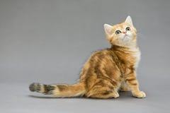 与大眼睛的小的英国红色小猫 免版税库存图片