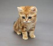 与大眼睛的小的英国红色小猫 免版税图库摄影