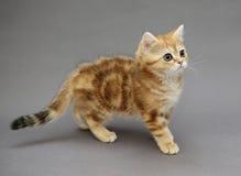 与大眼睛的小的英国红色小猫 免版税库存照片