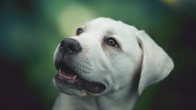 与大眼睛的幼小白色拉布拉多猎犬狗小狗 免版税库存图片