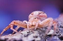 与大眼睛的蜘蛛 免版税库存照片