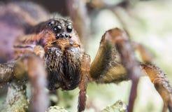 与大眼睛的蜘蛛 库存图片