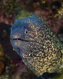 与大眼睛的Maldivian水下的鱼,充分的伪装 免版税库存照片