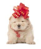 与大红色弓的咸菜小狗 免版税库存图片