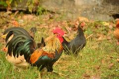 与大红色梳子的美丽的大公鸡 免版税库存照片
