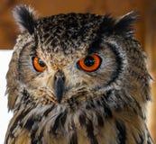 与大红色眼睛的猫头鹰 图库摄影