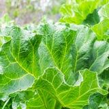 与大绿色叶子的植物大黄在庭院床上 夏天收获方形的框架 免版税库存图片