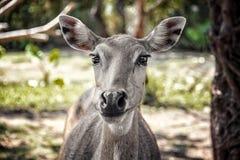与大美丽的眼睛的幼小鹿在沼地在森林来了紧密,调查摄象机镜头 水平的框架 库存图片