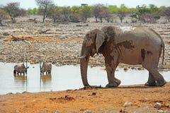 与大羚羊羚羊属的被隔绝的大象在一waterhole的背景中在Etosha国家公园 免版税库存照片