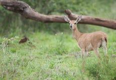 与大耳朵凝视的小羚羊 库存照片
