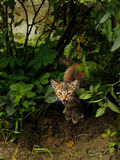 与大耳朵和髭特写镜头的邪恶的镶边棕色小猫 库存图片