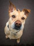 与大耳朵的狗和在他的面孔的一个滑稽的表示 免版税图库摄影