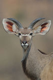 与大耳朵的年轻Kudu公牛 免版税图库摄影