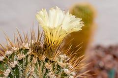 与大花的仙人掌 宏观照片 库存图片